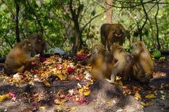 macaca monkey family eating lot of fruits, Phuket Thailand. Royalty Free Stock Photo