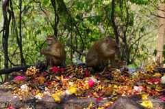 Macaca monkey family eating lot of fruits, Phuket Thailand. Stock Image