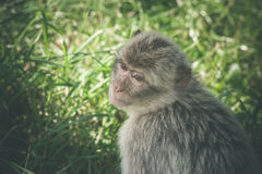 Macaca monkey in green grass Stock Photography