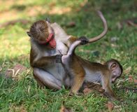 Monkey Business, mother macaca monkey mother macaca monkey is in. Macaca monkey is inspect baby ass,  Funny Monkey Business Royalty Free Stock Image