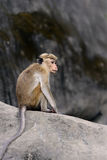Macaca Royalty Free Stock Photography