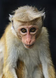 Macaca Royalty Free Stock Images