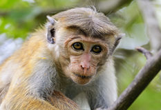 Macaca Stock Images