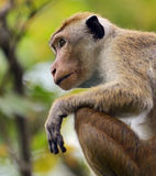 Macaca Royalty Free Stock Image