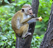 Macaca Royalty Free Stock Photos