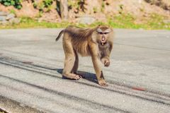 A macaca monkey, Khao Toh Sae Viewpoint on the Highest Hill in Phuket, Thailand.  royalty free stock image