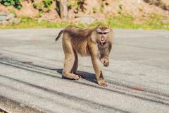 A macaca monkey, Khao Toh Sae Viewpoint on the Highest Hill in Phuket, Thailand.  stock photos