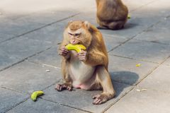 A macaca monkey, Khao Toh Sae Viewpoint on the Highest Hill in Phuket, Thailand.  stock images