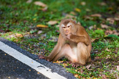 A macaca monkey,  Khao Toh Sae Viewpoint on the Highest Hill in Royalty Free Stock Photography