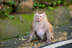 A macaca monkey,  Khao Toh Sae Viewpoint on the Highest Hill in Royalty Free Stock Photos