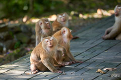A macaca monkey,  Khao Toh Sae Viewpoint on the Highest Hill in Stock Photography