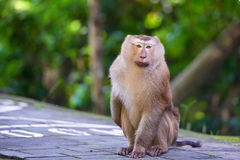 A macaca monkey,  Khao Toh Sae Viewpoint on the Highest Hill in Royalty Free Stock Photo