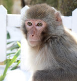 Macaca mulatta. In the outdoor royalty free stock images