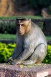 Macaca mulatta Stockfotografie