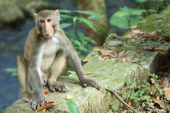 Macaca mulatta. One of the Macaca mulatta Stock Photography