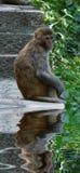 Macaca mulatta lizenzfreies stockfoto