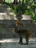 Macaca mulatta Royalty Free Stock Image