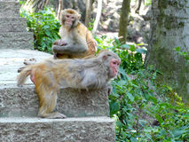 Macaca mulatta Stock Photography