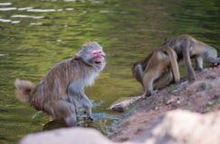 Macaca mulatta. An old Macaca mulatta is fighting against two young stock photo