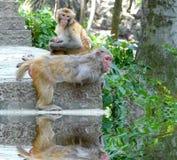 Macaca mulatta Stock Image