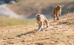 Macaca mulatta Stock Images