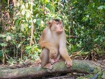 Macaca Nemestrina в Bukit Lawang, Индонезии Южная свинья-t Стоковые Фото