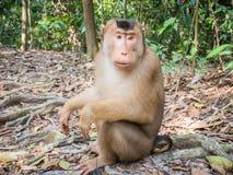 Macaca Nemestrina в Bukit Lawang, Индонезии Стоковые Изображения RF