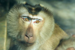 Macaca nemestrina. The head close-up of Macaca nemestrina Royalty Free Stock Photography