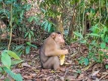 Macaca Nemestrina in Bukit Lawang, Indonesia. Macaca nemestrina eating skin of Pineapple in Bukit Lawang, Indonesia. The southern pig-tailed macaque Macaca stock photo