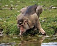 Macaca nemestrina drinking. Water out the lake. Foto taken in burger zoo in Arnhem stock images