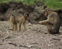Macaca nemestrina group. Macaca nemestrina walking over grass. Foto taken in burger zoo in Arnhem Royalty Free Stock Image