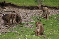 Macaca nemestrina group. Macaca nemestrina walking over grass. Foto taken in burger zoo in Arnhem stock photography