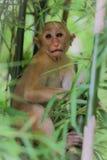 Macaca nemestrina monkey. Baby Macaca nemestrina sitting on a branch of bamboo Royalty Free Stock Photography