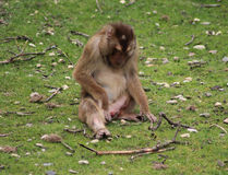 Macaca nemestrina. Sitting in the grass. Foto taken in burger zoo in Arnhem royalty free stock images