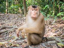 Macaca nemestrina in Bukit Lawang, Indonesia. Macaca nemestrina spotted in Bukit Lawang, Indonesia. The southern pig-tailed macaque Macaca nemestrina is spotted Royalty Free Stock Images