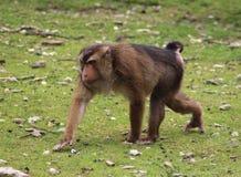 Macaca nemestrina. Walking over grass. Foto taken in burger zoo in Arnhem royalty free stock photo
