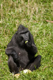 Macaca Nigra. Sitting in the grass and eating fruit royalty free stock images