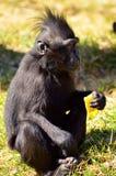 Macaca Nigra baby. Eating fruit and watching Stock Image