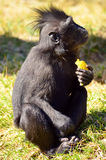 Macaca Nigra baby. Eating fruit and watching Stock Photography