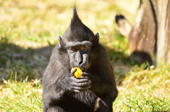 Macaca Nigra baby. Eating fruit and watching Royalty Free Stock Photography