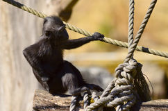 Macaca Nigra baby Stock Image