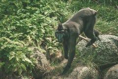 Macaca Nigraaffe, der auf Felsen klettert Stockfotografie