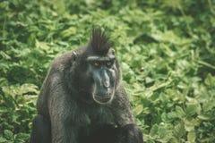 Macaca Nigraaffe, der im Grün sitzt Lizenzfreie Stockfotos