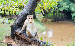 Free Macaca On An Old Tree Near The Muddy Riverm Water, Old, Tree Royalty Free Stock Image - 96955466
