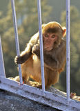 Macaca Radianta Monkey Vaishno Devi India. Portrait of an Indian monkey at Vaishnu Devi temple in Jammu Kashmir India looking into the camera lens with crop royalty free stock image