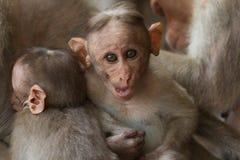 Macaca radiata. Portrait of a monkey. Year of the monkey. Stock Image