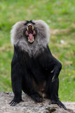 Macaca silenus Lizenzfreies Stockfoto