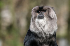 Macaca silenus. Portrait of a Macaca silenus Stock Photography