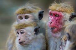 Macaca Sinica-Affen von Sri Lanka Stockbild