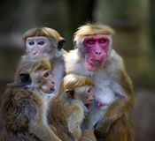Macaca Sinica-Affen von Sri Lanka Lizenzfreie Stockfotos